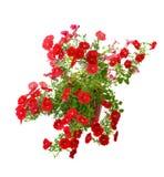 Blooming petunia stock images