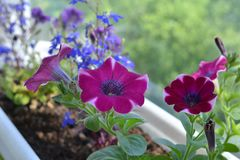 Free Blooming Petunia And Lobelia In Flower Pot. Balcony Greening Royalty Free Stock Photography - 122692207