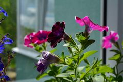 Blooming petunia with beautiful purple and pink flowers. Balcony. Greening royalty free stock image