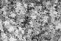 Blooming petunia flowers. In black and white royalty free stock photography