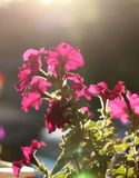 Blooming of petunia flowers in a sunset light Stock Images