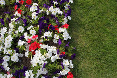 Blooming  petunia and green grass Royalty Free Stock Photography