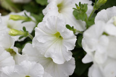 Blooming Petunia Hybrida at flower show. The Blooming Petunia Hybrida at flower show Royalty Free Stock Photo