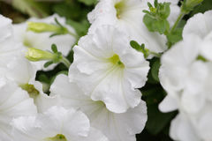 Blooming Petunia Hybrida at flower show. The Blooming Petunia Hybrida at flower show Stock Photo