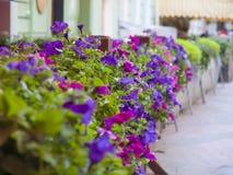 Blooming Petunia. Royalty Free Stock Images