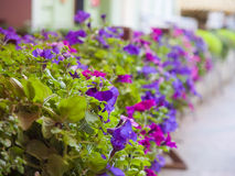 Blooming Petunia. Royalty Free Stock Photography