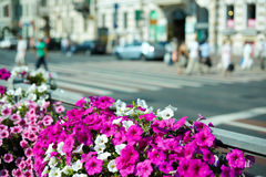 Blooming petunias in street flowerbed Stock Photo