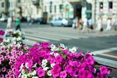 Blooming petunias in street flowerbed Stock Photo