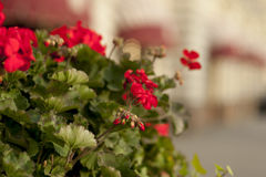 Blooming petunias in street flowerbed, shallow depth of field Stock Photo