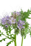 Blooming phacelia Stock Images