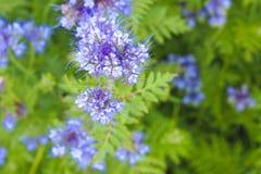 Blooming phacelia plants in July. Blooming phacelia plants in July mid-summer to make bees work Royalty Free Stock Image