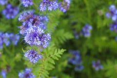 Blooming phacelia plants in July. Blooming phacelia plants in July mid-summer to make bees work Stock Image