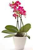 Blooming phalaenopsis Royalty Free Stock Photography