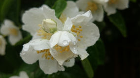 Blooming Philadelphus coronarius royalty free stock images