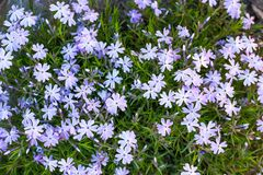 Blooming phlox awl. In spring garden, top view stock image