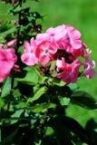 Blooming Phlox paniculata Royalty Free Stock Photos