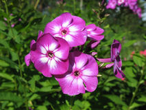 Blooming Phlox paniculata, Polemoniaceae Royalty Free Stock Photography