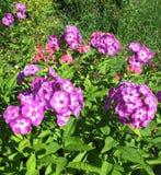 Blooming Phlox paniculata, Polemoniaceae Stock Photos