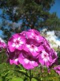 Blooming Phlox paniculata, Polemoniaceae Royalty Free Stock Photos