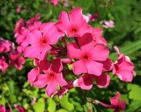 Blooming Phlox paniculata, Polemoniaceae Stock Images