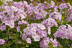 Blooming Phlox paniculata, Polemoniaceae Royalty Free Stock Photo