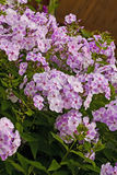 Blooming Phlox paniculata, Polemoniaceae Stock Photos