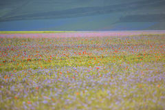 Blooming in Piano Grande of Castelluccio di Norcia, Monti SIbill Stock Photos