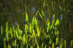 Blooming pickerelweed royalty free stock photos