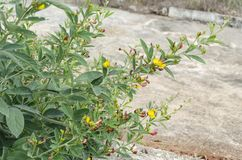 Blooming Pigeon Peas Tree stock images