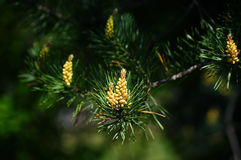 Blooming pine bud. Royalty Free Stock Image