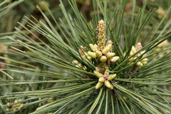 Blooming pine Stock Photography