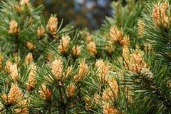 Blooming pine tree Stock Photo