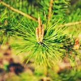 Blooming Pine Royalty Free Stock Image