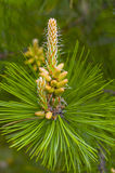 The blooming pine tree closeup Stock Photo
