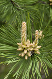 The blooming pine tree closeup Stock Image