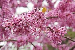 Blooming pink acacia, China, Shaolin Monastery stock images