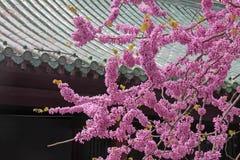 Blooming pink acacia, China, Shaolin Monastery stock photography