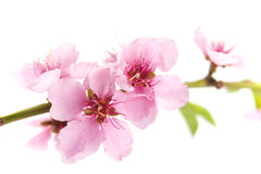 Blooming pink almond tree on white background Royalty Free Stock Photo