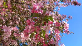 Blooming pink apple tree branches moving on the wind on the background of blue clear sky stock video footage