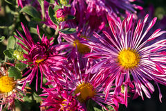 Blooming pink asters. Blooming asters on a bed in autumn park Stock Photo