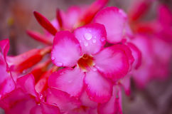 Blooming Pink Azalea Afer Rain, close-up, selective focus stock image