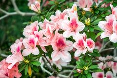 Blooming pink azalea branch in spring royalty free stock images