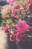 Blooming pink azalea flower Royalty Free Stock Photography