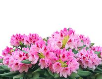 Blooming pink azalea or rhododendron flowers isolated on white b