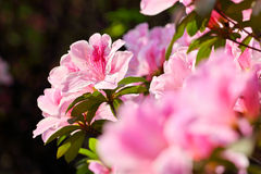 Azalea Rhododendron 4 Stock Image