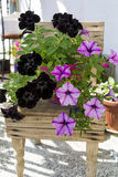 Blooming pink and black  petunia flowers on a small wooden chair Royalty Free Stock Photo