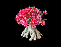 Blooming Pink And Black Rhododendron Azalea isolated on white background Stock Photography