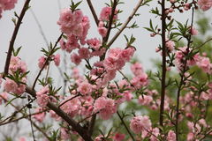 Blooming pink blossoms in early spring. Major Stock Photography