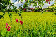 Blooming pink Bougainvillea near a green rice field, houses on the background, Umalas, Bali Island, Indonesia Stock Image