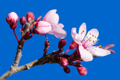 Blossoming spring flowers pink over blue royalty free stock images
